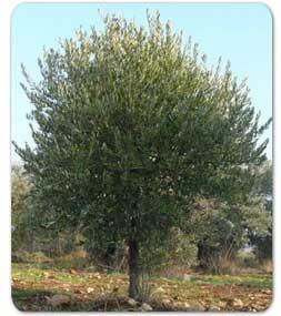 Perry-Stone-Tree
