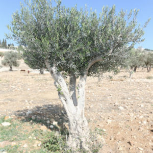 king's valley olive tree sponsorship
