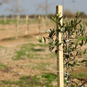 Sponsorship of One Olive Tree | 10-15 year old in King's Valley