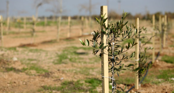Sponsorship of One Olive Tree | Sapling in Israel