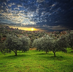 when olive trees were born