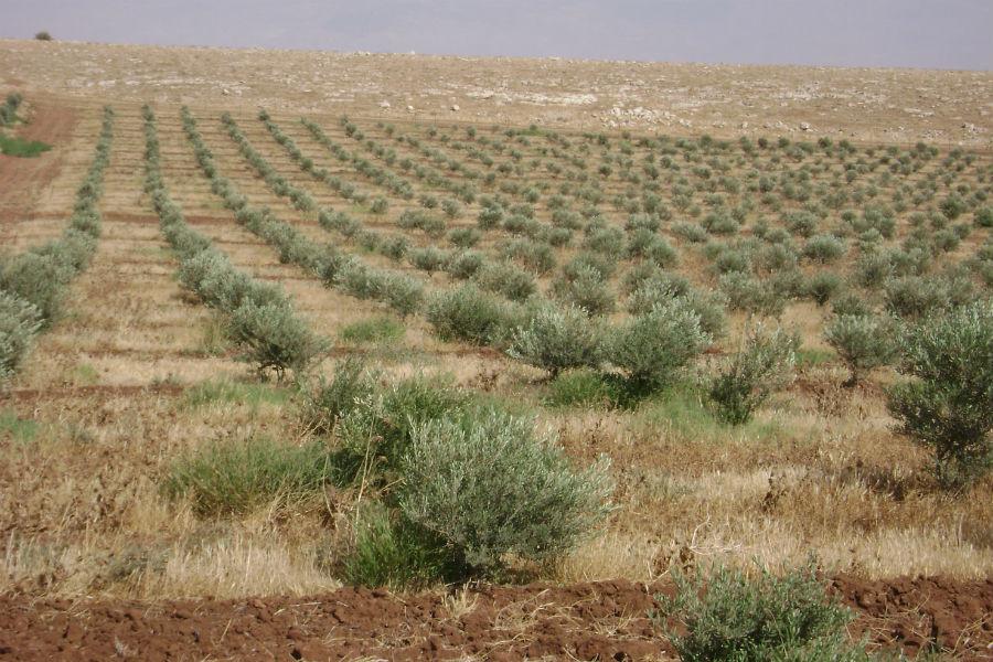 moshav-mehora-grove-1