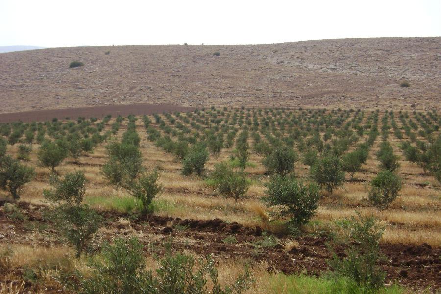 moshav-mehora-grove-10