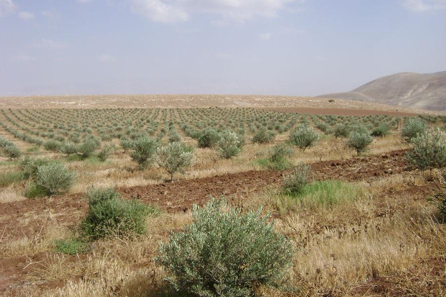moshav-mehora-grove-3
