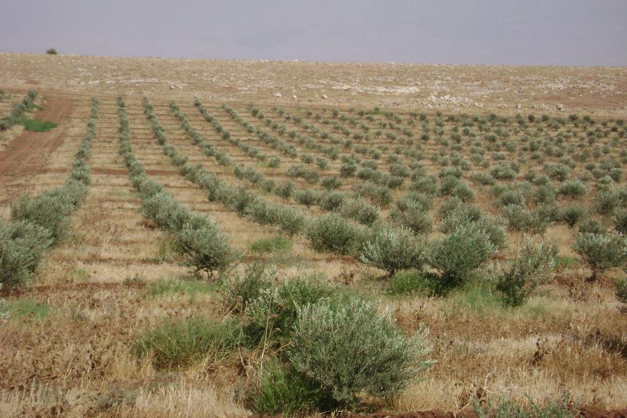 moshav-mehora-grove-4