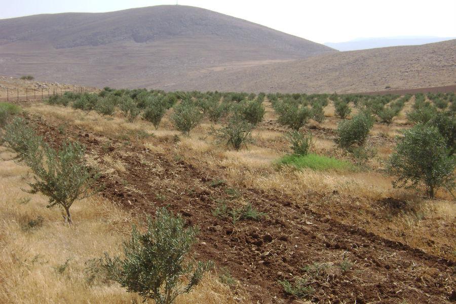 moshav-mehora-grove-6