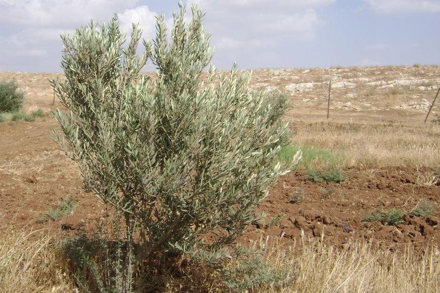 moshav-mehora-grove-7