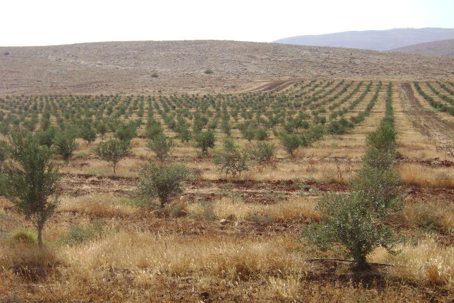 moshav-mehora-grove-8