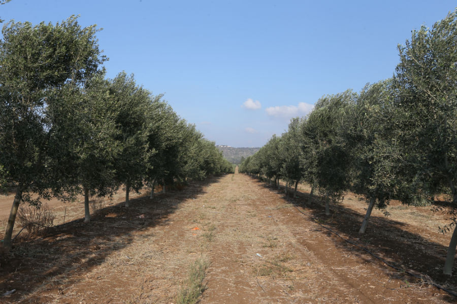 Common Types of Olive Trees