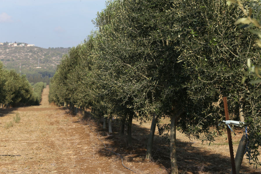 What Types of Olive Trees Do We Plant?