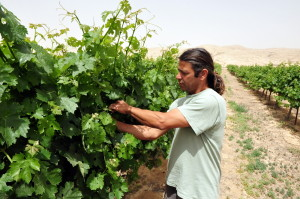 NEGEV DESERT - MAY 15: An Israeli farmer in his vineyard on May 15 2009 in the Negev desert, Israel.Many Israeli farmers using ancient desert farming methods from the time of the Nabatioan people.