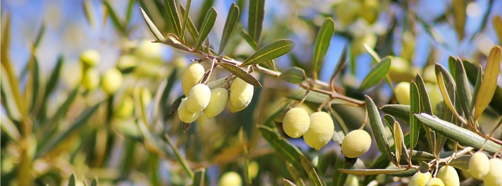 Types of Olive Trees at My Olive Tree