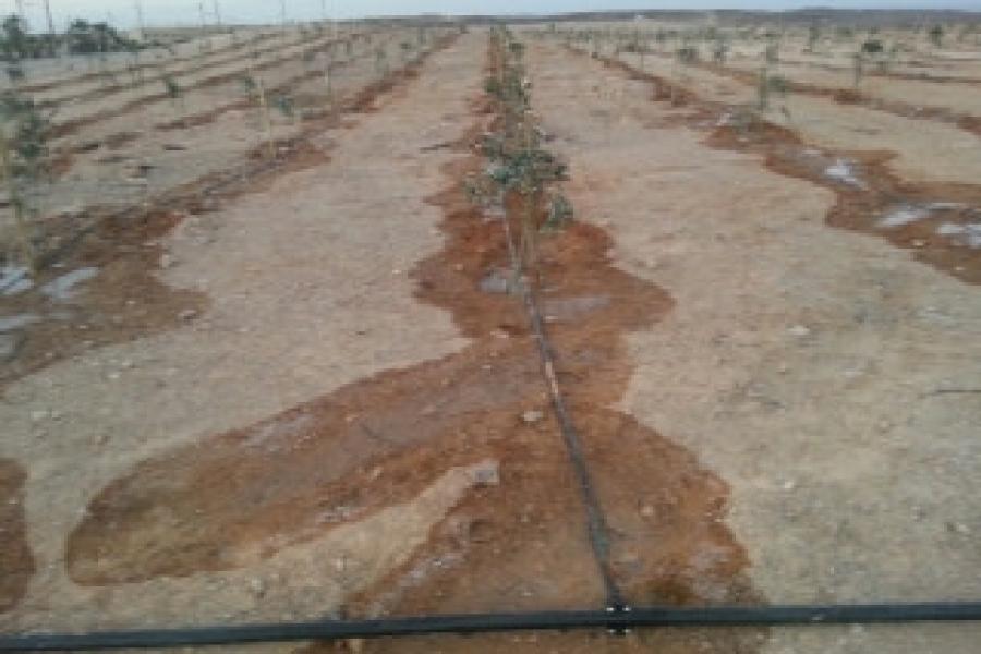 Sayarim grove