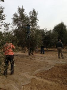 olive-trees-maintenance-planting