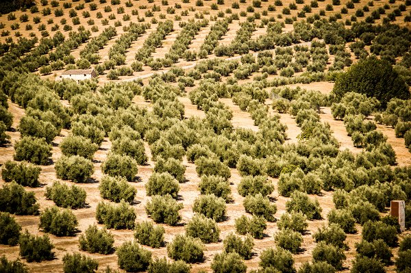 Olive Oil in Biblical Times - Sponsor an Olive Tree in Israel