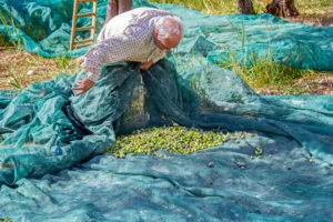 old farmer who picks olives with a net on a sunny day. olive harvest in Sicily