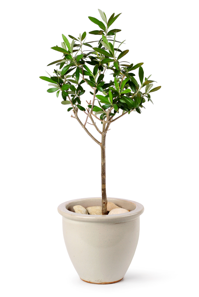 Growing Olive Trees at Home