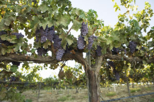 Why Should You Sponsor a Grapevine in the Israeli Desert?