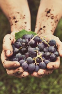 grapes-ripe-hands