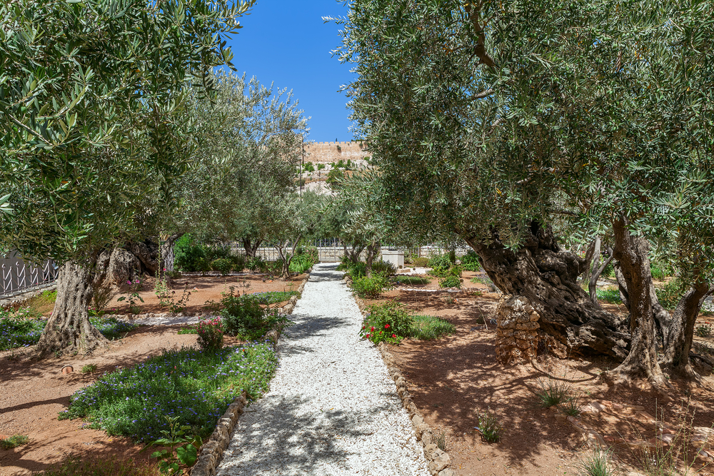 About Olive Tree Pruning My Olive Tree Sponsor An