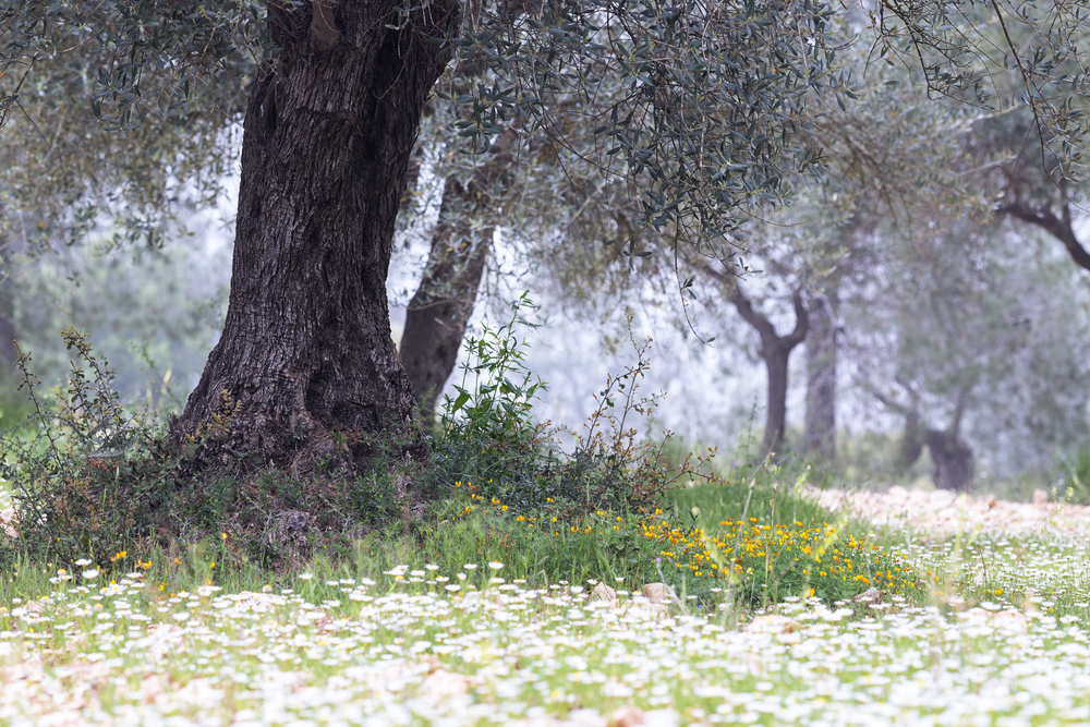 Frequently Asked Questions About Growing Olive Trees