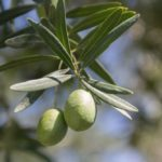 olive tree facts