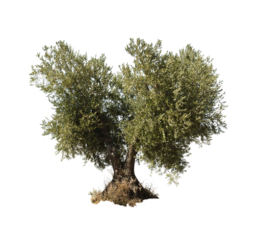 Growing Olive Trees: Tips for Fertilizing