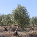 Ancient olive trees plantation (regenerated) on Judea Hills, Israel