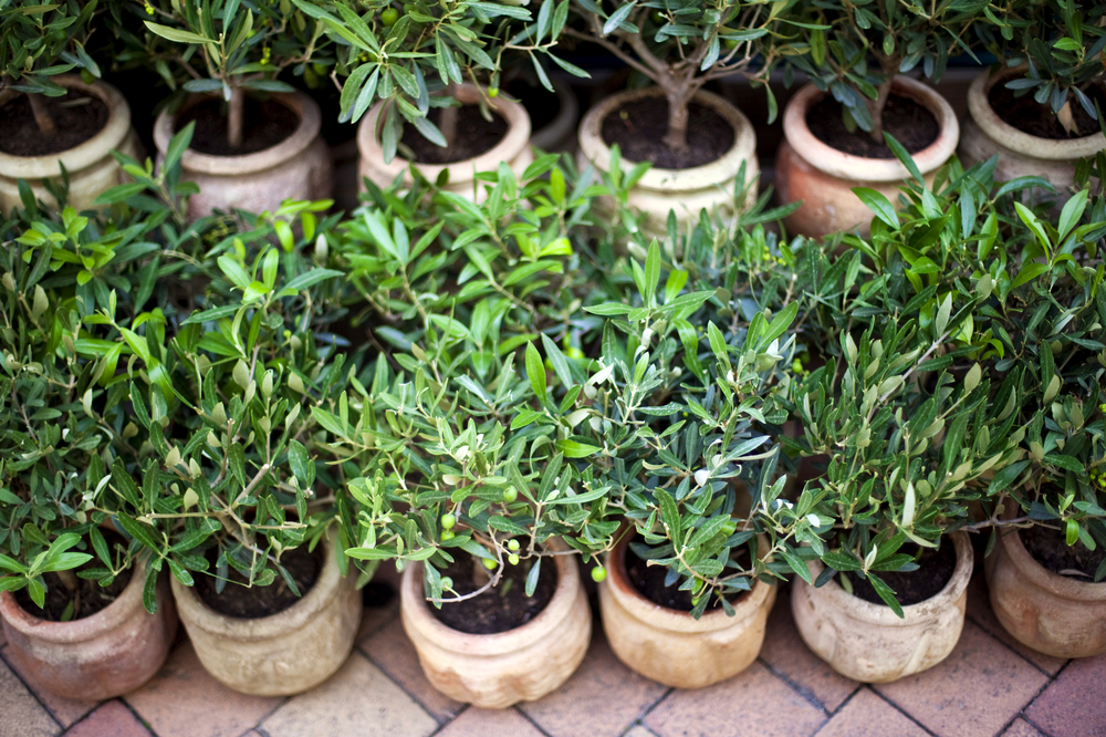 Young olive trees in pots on a terrace in provence