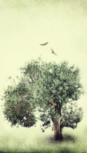 Tips for Growing a Healthy Olive Tree