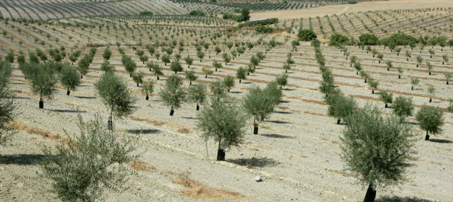 Crowdfunding: Planting Olive Trees in Israel