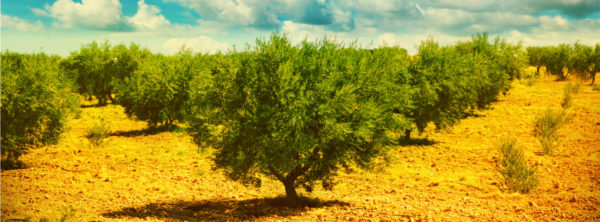 Why Should I Sponsor an Olive Tree in Israel?