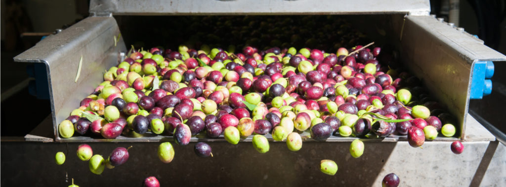 My Olive Tree: Making Olive Oil