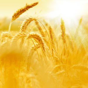Shavuot: A Harvest Love Story