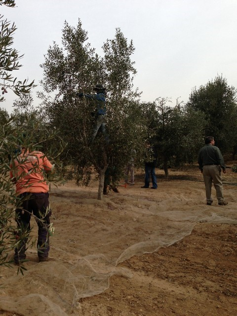 Israel's Olive Oil: From the Tree to the Stone