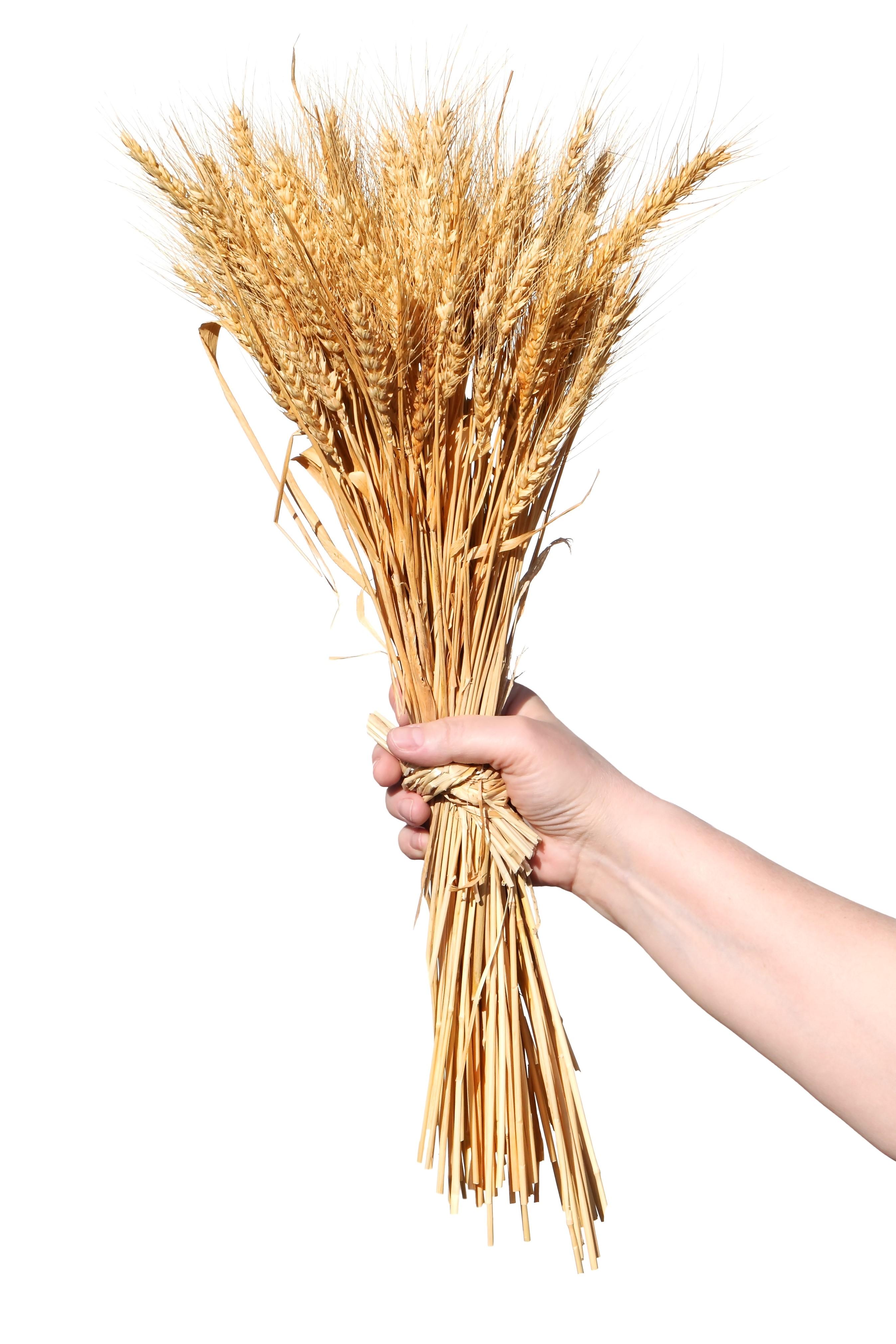 The seven species barley and wheat barley and wheat 2 buycottarizona Choice Image
