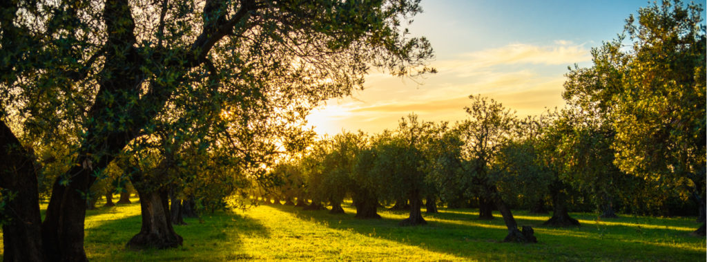 The Abundant LIFE of the Olive Tree…