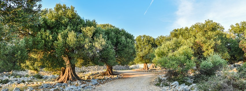 What Makes the Olive Tree So Incredible?