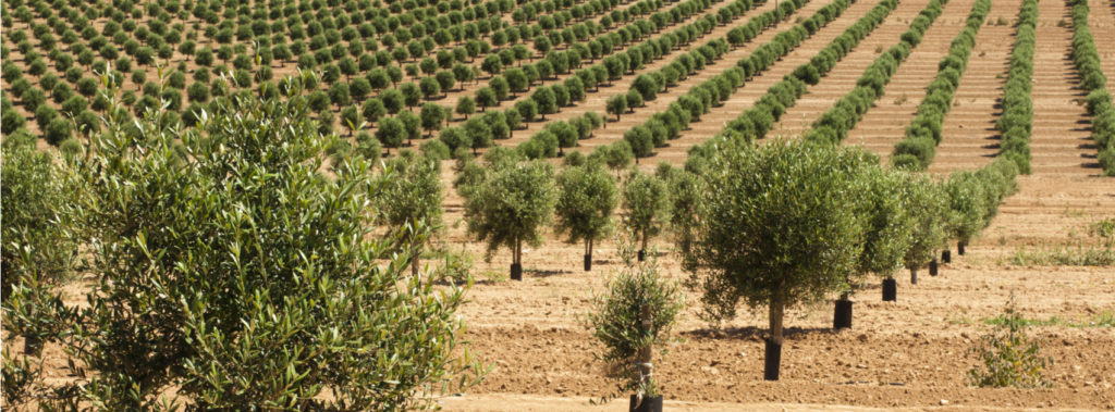 Types of Olive Trees in Our Groves