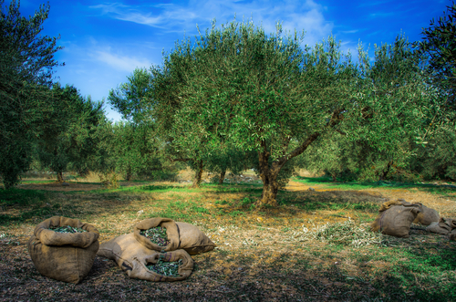 Harvested olives in sacks with olive trees