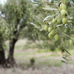 Olive Trees: Biblical Inspiration