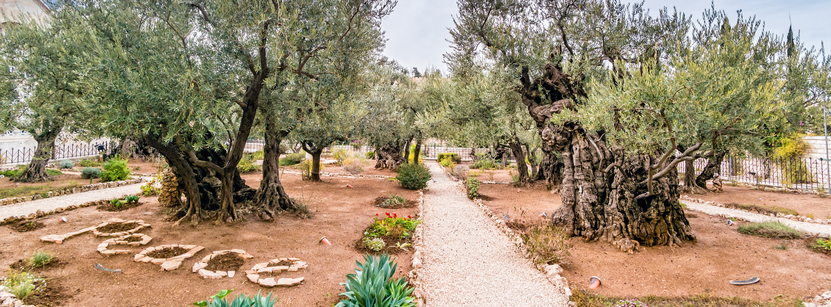 The ancient olive trees in the garden of gethsemane for Age olive trees garden gethsemane