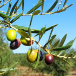 The Symbolism of the Olive Tree in the Jewish Faith