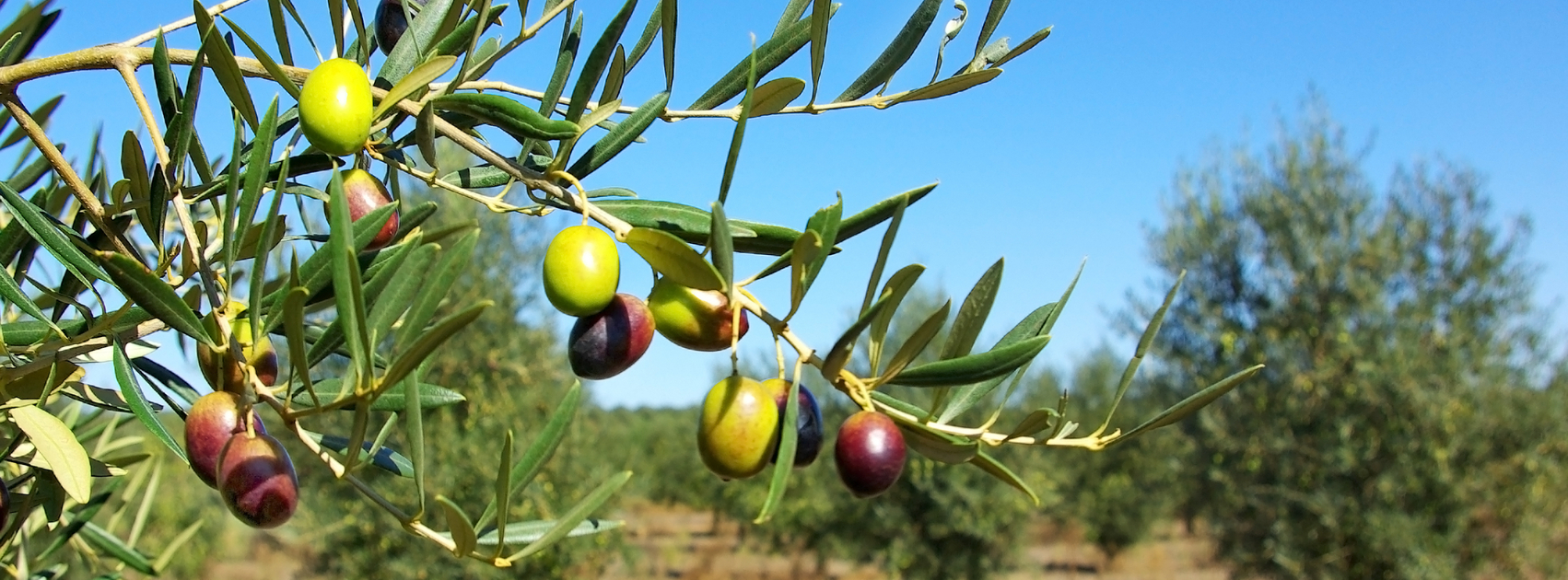 The Symbolism Of The Olive Tree In The Jewish Faith Sponsor An