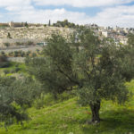 3 Major Reasons to Support Planting Trees in Israel
