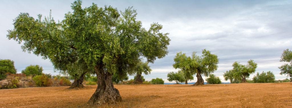 How Am I Like an Olive Tree?