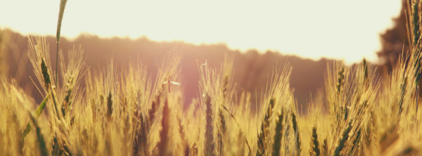 Shavuot: Where Harvest and Law Meet