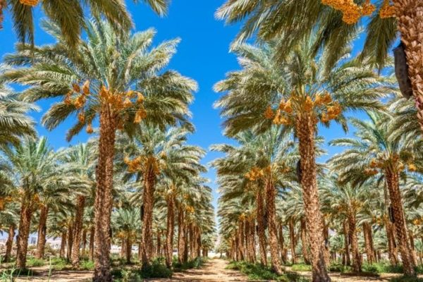 A field of date trees in Israel